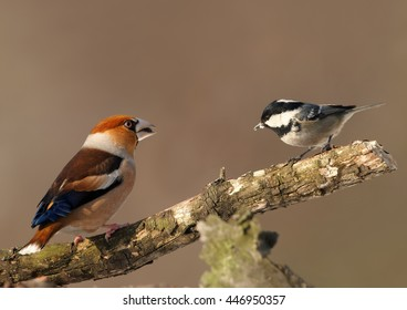 Male of Hawfinch  against  Marsh Tit, Parus palustris sitting on mossy branch. Colorful male of Coccothraustes coccothraustes against abstract, brownish  background. Winter, Europe, Czech republic.
