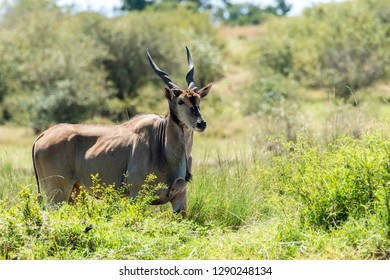 A male highland eland grazing in the plains of Masai Mara National Reserve during a wildlife safari