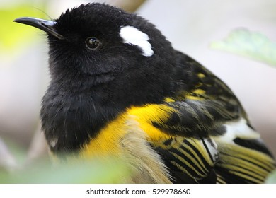 Male Hihi, Stitchbird, New Zealand