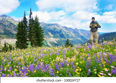 Male hiker walking the trail in the mountains with wild flowers in purple and yellow. Mt.Rainier. Washington State. USA.