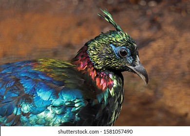 Male Himalayan Monal bird displaying his colours