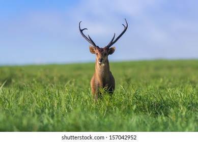 Male hog deer stand alone on grassland