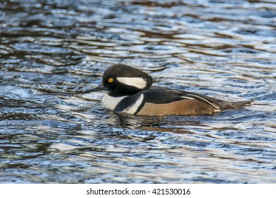 A male hooded merganser swimming in the lake