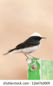 Male Hooded Wheatear (Oenanthe monacha) perched in Negev desert near Eilat in Israel. Perched on iron sign plate.