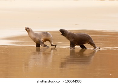 Male Hookers sealion, Phocarctos hookeri, or whakahao, chasing female in a playful act of courtship behaviour on sandy beach