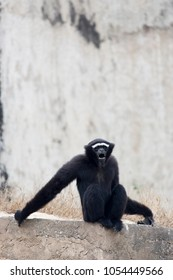 The male hoolock gibbon sitting on the rock expresses the emotions loud shout