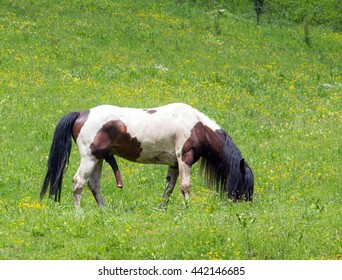 male horse in erection