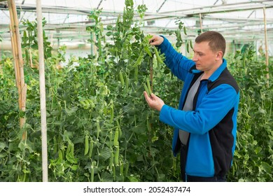 Male horticulturist during harvesting with pea and soy seedlings in hothouse