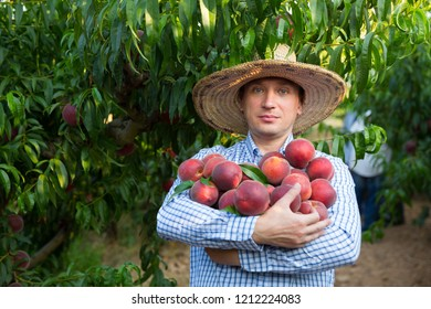 Male  horticulturist holding  in hand stack of peaches in garden