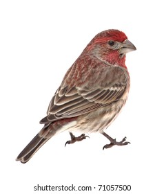 Male house finch, Capodacus mexicanus, isolated on white
