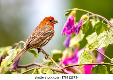 """A male house finch """" Haemorhous mexicanus """" looks for food and a mate among the branches."""