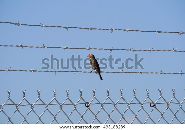 Male house finch on a barbwire