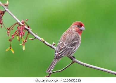 Male House Finch Outdoors on a Branch with Spring Flowers