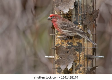 A male House Finch is perched on a bird feeder holding a seed in his beak.  Taylor Creek Park, Toronto, Ontario, Canada.