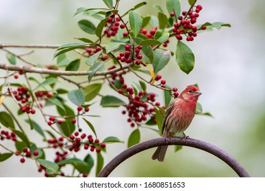 Male House Finch Perched on Shepherd's Hook with Holly Branches Loaded with Red Berries in Background