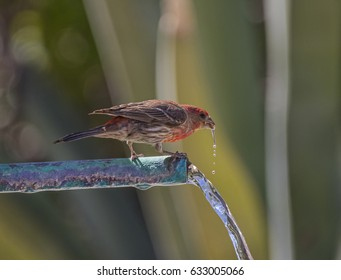 Male House Finch (soft focus) Drinking from a Fountain