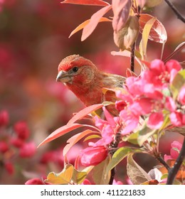 Male house finch in tree peeking out through bright pink crab apple blossoms.
