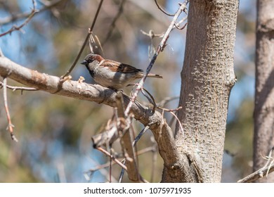 A male house sparrow on a branch of tree in early spring.
