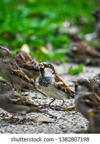 Male house sparrow in a park waiting for food with other sparrows
