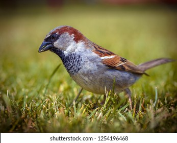 Male house sparrow (Passer domesticus) looking for food