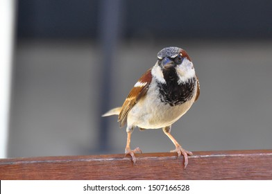 Male of House sparrow. The house sparrow (Passer domesticus) is a bird of the sparrow family Passeridae. Bird on the wooden bench with grey background.