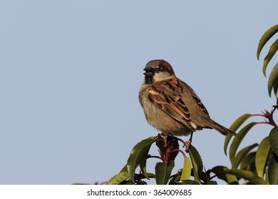 Male House Sparrow (Passer domesticus) sitting on a twig in the garden.