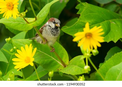 Male House Sparrow perched on a Cup Plant stem. High Park, Toronto, Ontario, Canada.