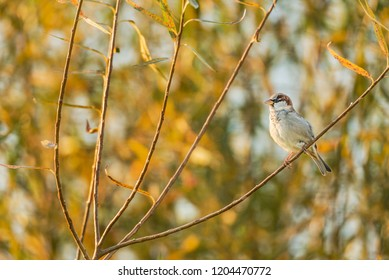 Male house sparrow perches proudly on a branch, on a small tree or bush, with yellow leaves. Colors are changing to orange and yellow during fall.