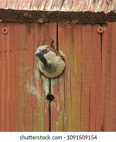 A male house sparrow pokes its head out from a bird house