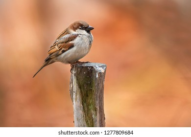 Male House Sparrow standing on a pose with autumn colours in the background. High Park, Toronto, Ontario, Canada.