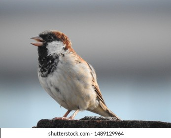 a male House sparrow. Sparrows are a family of small passerinebirds. They are also known as true sparrows, or Old World sparrows, names also used for a particular genus of the family, Passer