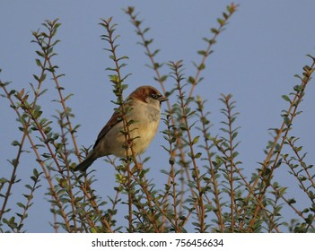 Male House sparrow waiting for breakfast