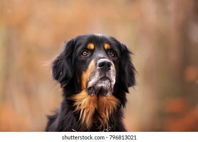 male Hovawart dog portrait