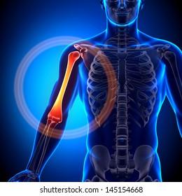 Male Humerus - Anatomy Bones