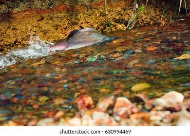 male of humpback salmon (Oncorhunchus gorbusha) in the bottom watercourse