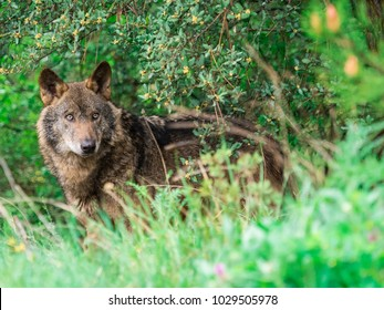 Male of iberian wolf (Canis lupus signatus) in the bushes