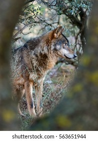 Male iberian wolf (Canis lupus signatus) between trees hidden in the forest
