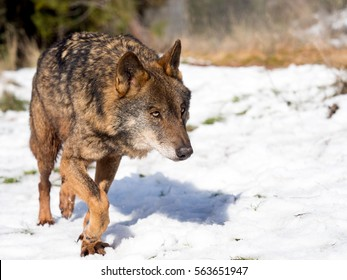 Male iberian wolf (Canis lupus signatus) running in the snow in winter