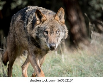 Male iberian wolf (Canis lupus signatus) running and stalking
