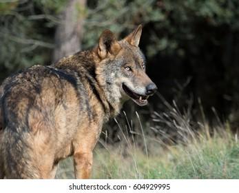 Male of iberian wolf (Canis lupus signatus) in his natural habitat