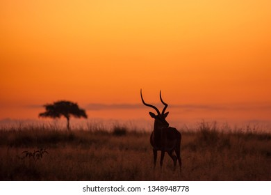 Male Impala, Aepyceros melampus, silhouetted at sunrise, Masai Mara Game Reserve, Kenya