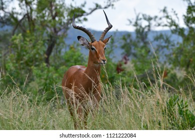 male of impala antelope