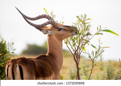 Male Impala antelope browsing on green leaves of a tree