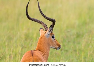 Male Impala, Antelope with lyre-shaped horns and white color around eyes with blurred savanna background at Serengeti National Park in Tanzania, East Africa