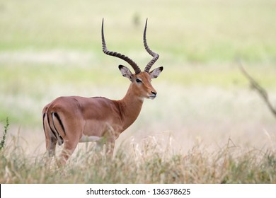 Male impala antelope standing on shaded grass