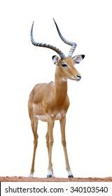 Male impala isolaterd on white background