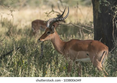 Male Impala in the Masai Mara
