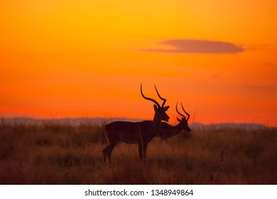 Male Impalas, Aepyceros melampus, silhouetted at sunrise, Masai Mara Game Reserve, Kenya