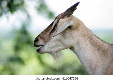 A male Indian domestic goat.