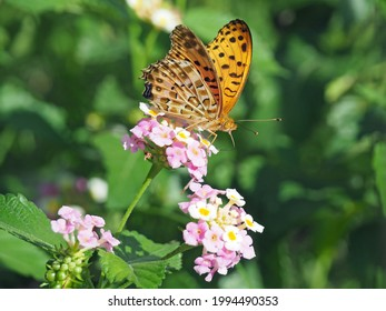 male Indian Fritillary butterfly that sucks nectar from lantana flowers